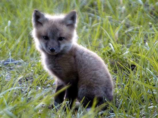 bebe renard