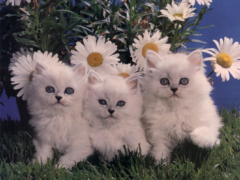 Belles images d animaux et diverses page 173 - Chaton persan gratuit ...